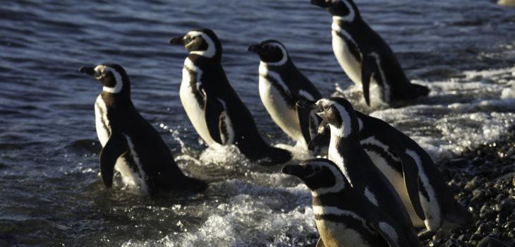 Pingüino de Magallanes | Luis Bertea | Sernatur