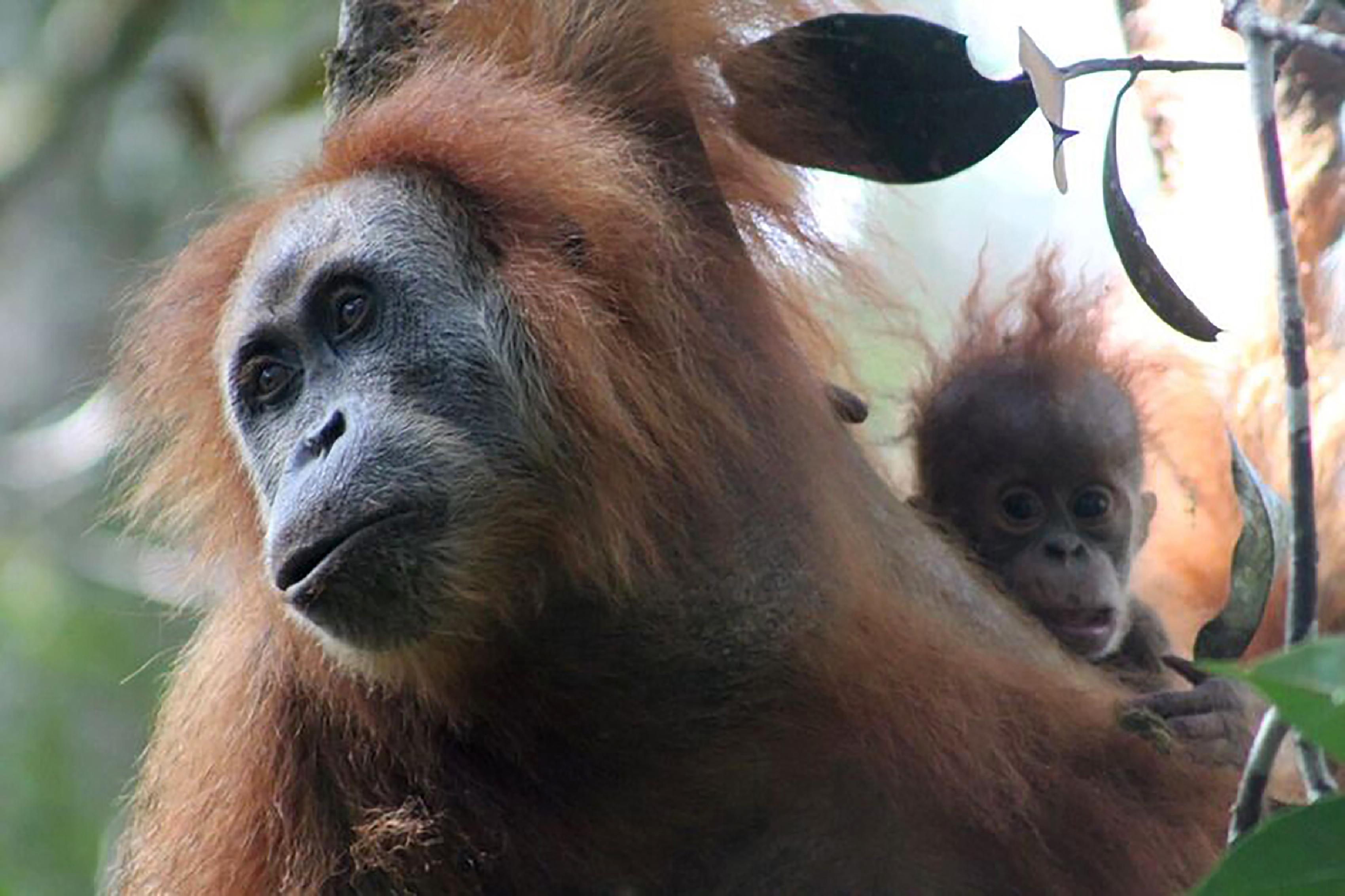 Sumatran Orangutan Conservation | AFP