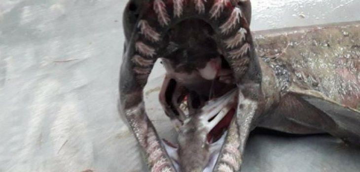 Dentadura del tiburón (Fotografía Instituto Portugués del Mar y la Atmósfera)
