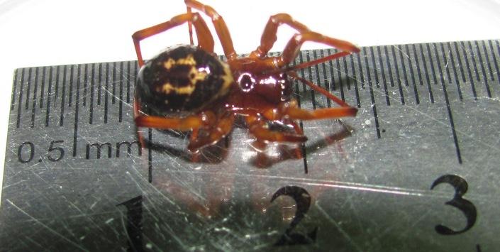Ejemplar de Steatoda nobilis encontrado en Temuco | www.mnhn.cl