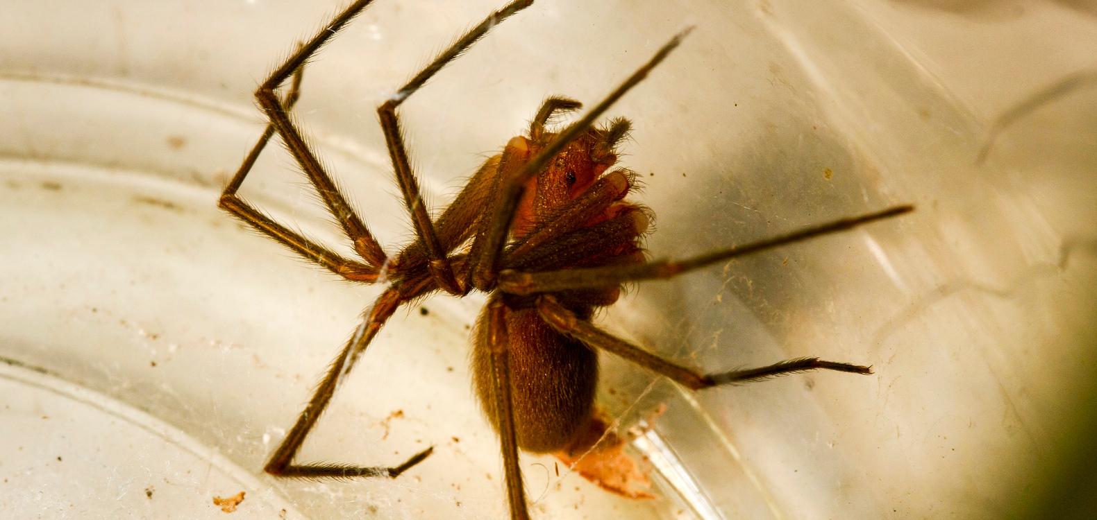 Araña de rincón (Loxosceles laeta) | Mauricio Arriagada (CC) Flickr