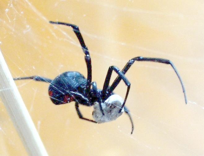 Araña Viuda Negra (Latrodectus mactans) (CC) Wikimedia Commons