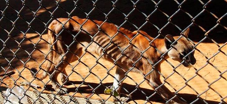 Puma en estado de desnutrición | Panorama