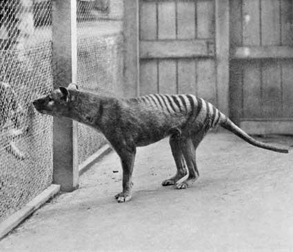 Último tigre de Tasmania del que se tuvo registro, en 1933   National Archives of Australia