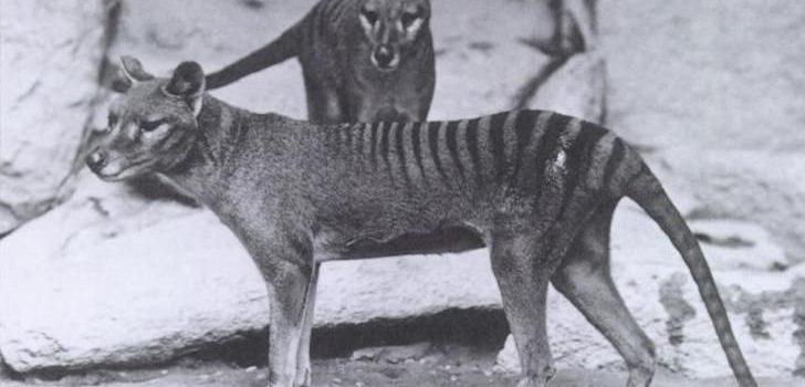Tigres de Tasmania en 1904   Smithsonian Institution