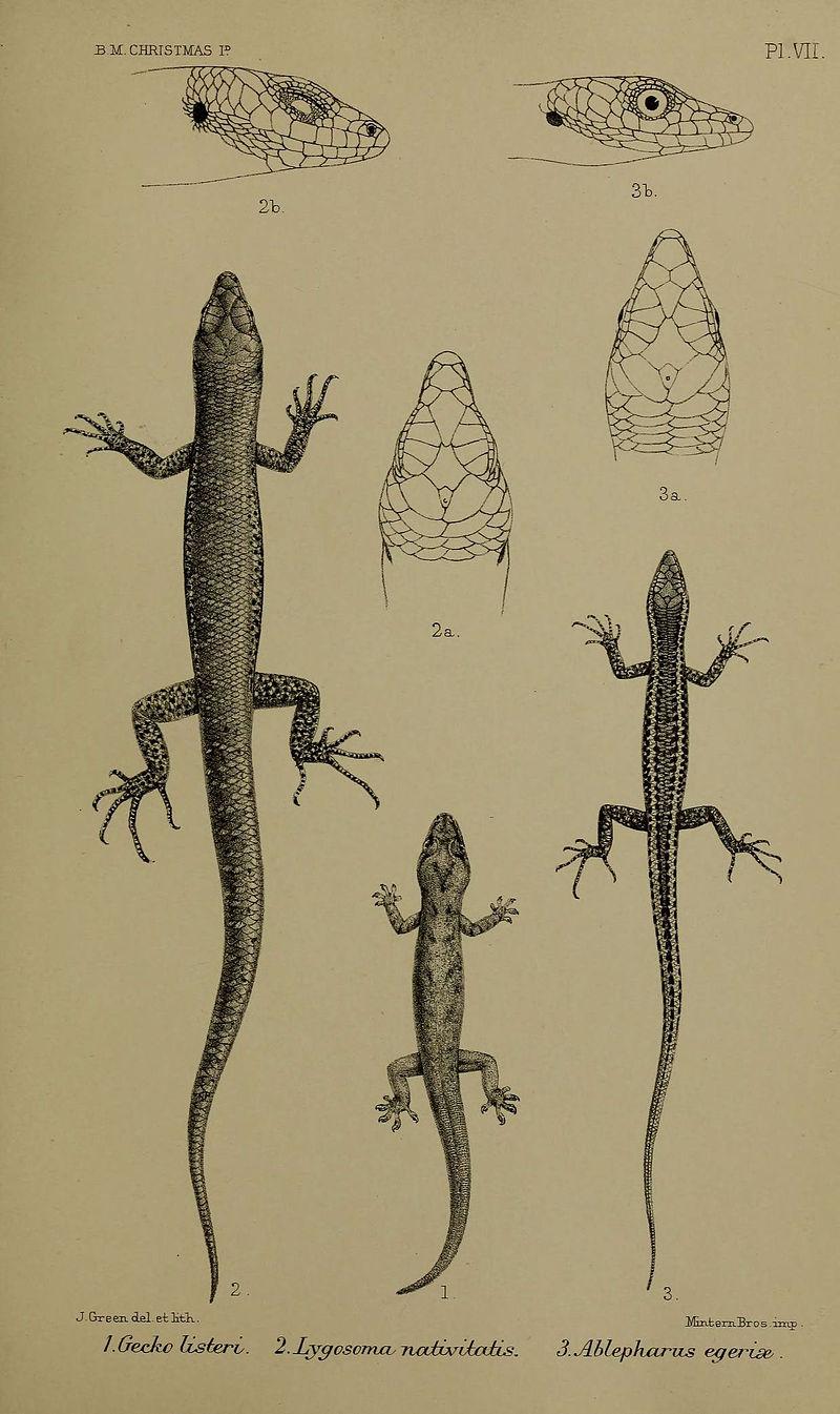 Escincos de cola de látigo de la isla de Navidad | Biodiversity Heritage Library (cc)