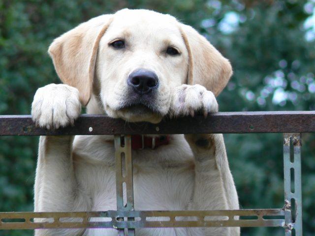 Labrador | Max Pixel