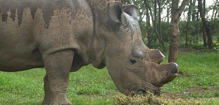 Sudán, el último macho de rinoceronte blanco del norte | Tony Karumba | AFP