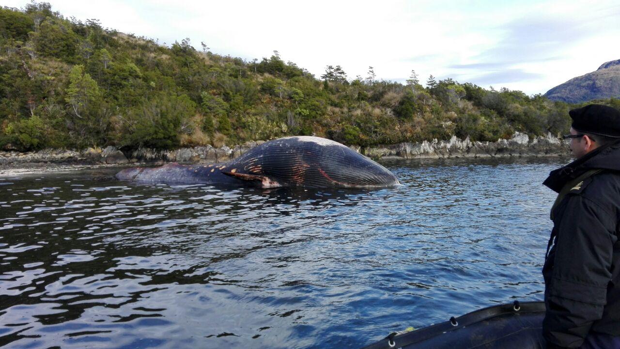 Ballena varada en sector de Isla Morton | Capitanía de Puerto de Puerto Edén