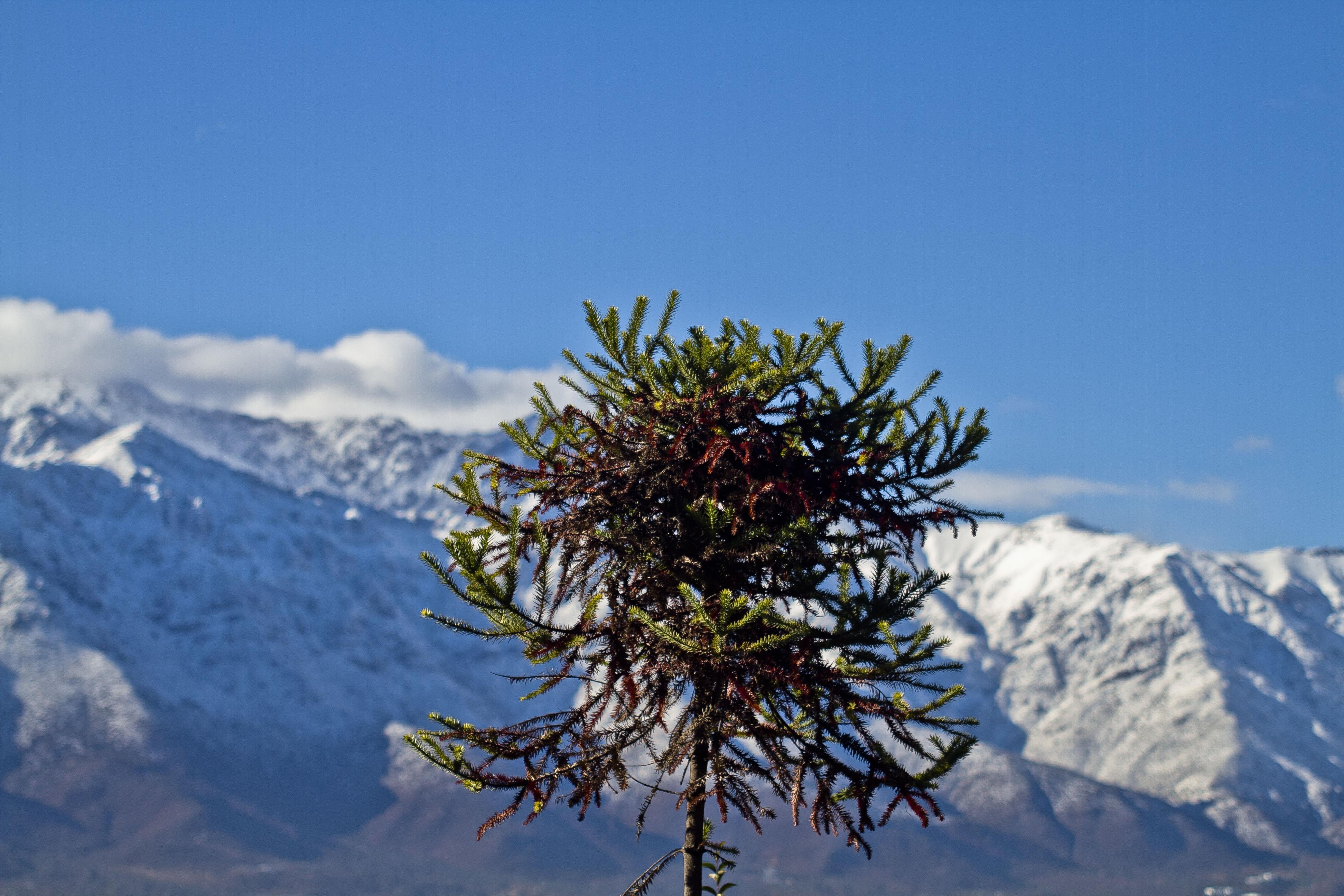 Vista de una araucaria con la Cordillera de Los Andes de fondo, en el Cerro San Cristóbal | Hans Scott | Agencia UNO
