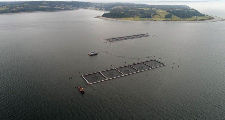 Salmonera pierde 900 mil peces no aptos para el consumo for Cria de peces para consumo humano