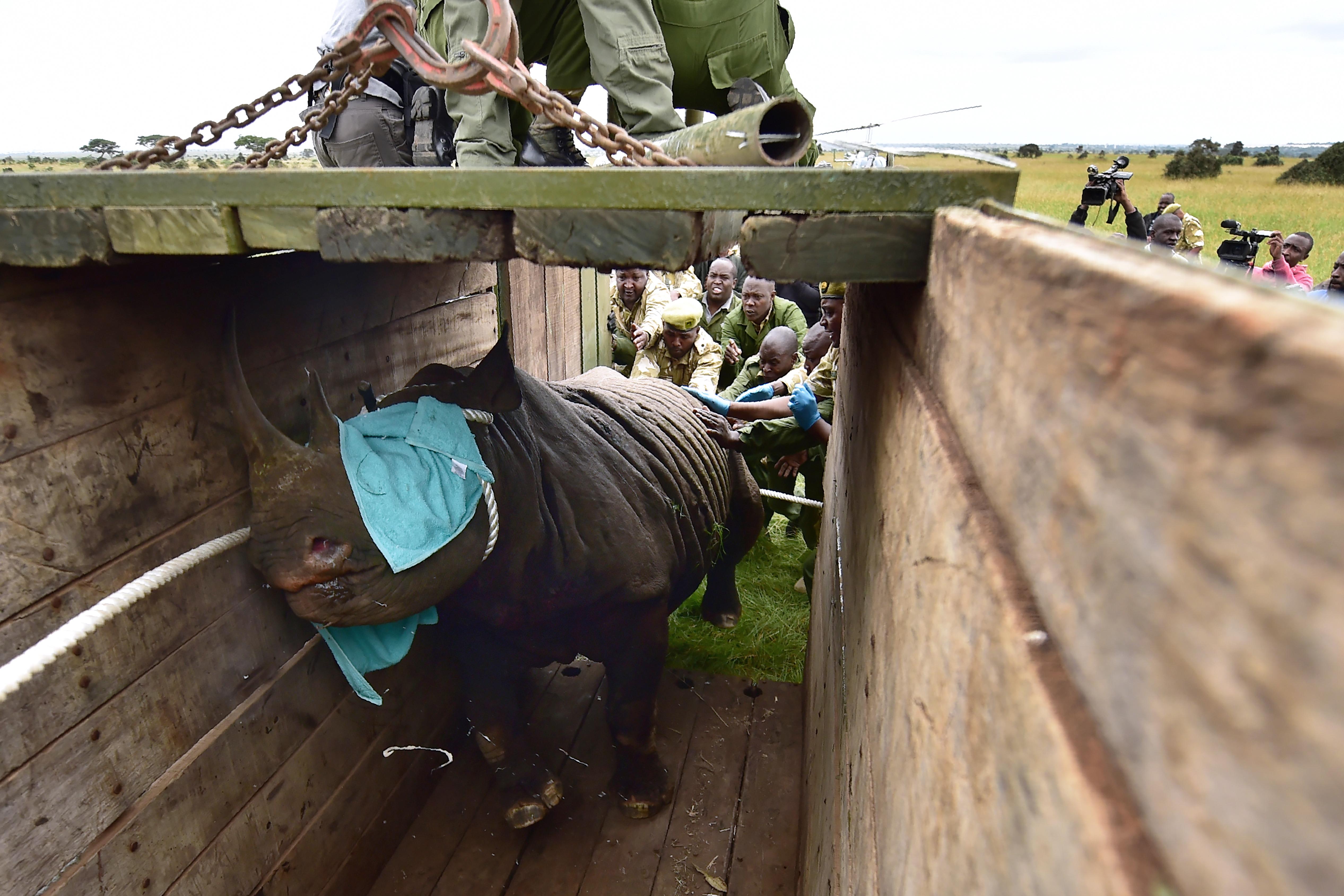 Reubicación de los rinocerontes en junio pasado | Tony Karumba | Agence France-Presse
