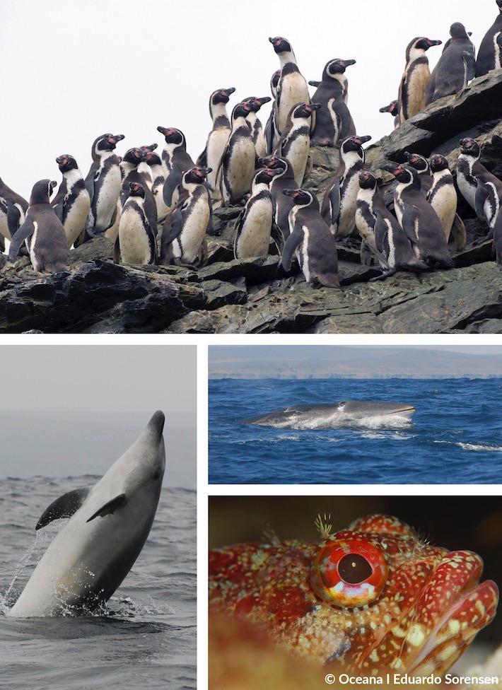 Especies protegidas de la Reserva Nacional Pingüino de Humboldt y Reserva Marina Isla Choro y Damas | Oceana – Eduardo Sorensen
