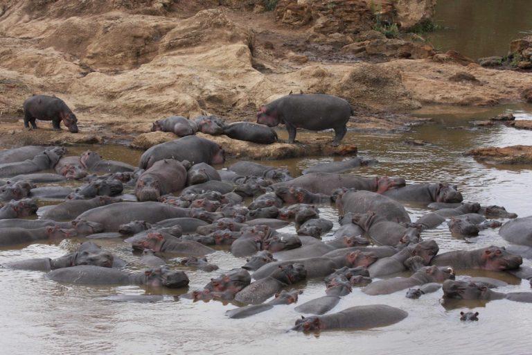 Un grupo de hipopótamos | Imagen de Christopher Dutton