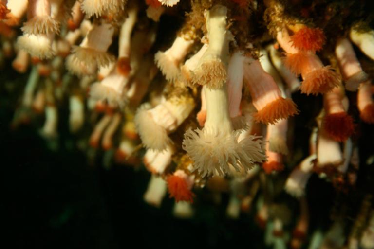 Corales del Fiordo Comau, Patagonia, Chile   Foto: Vreni Häussermann