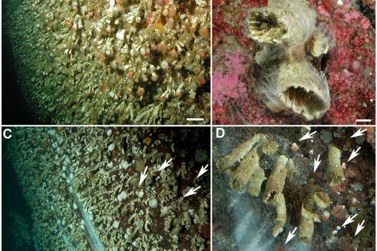 A: corales vivos. B,C Y D: corales muertos. Fiordo Comau, Patagonia, Chile   Foto: Vreni Häussermann
