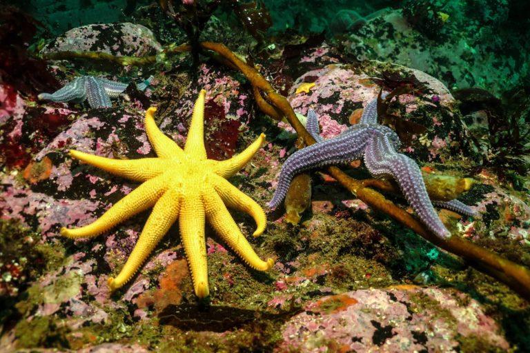 Estrellas de Mar en los fondos marinos del Canal de Beagle. Foto: Beagle Secretos del Mar