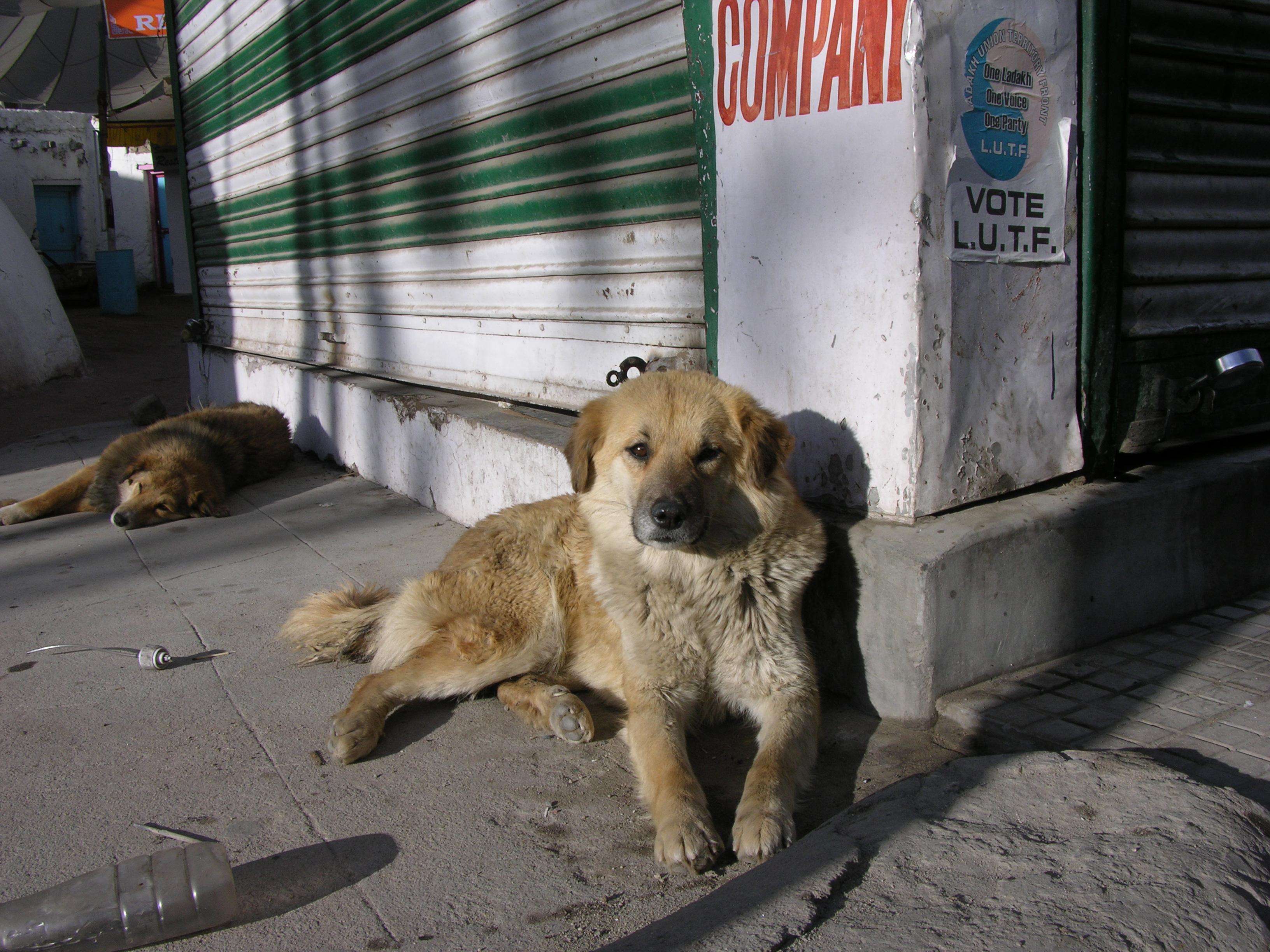 Hay competencia incluso por basura en el Trans-Himalaya. Los perros salvajes suelen hurgar en los mismos basureros que los zorros rojos, lo que provoca conflictos entre las dos especies. Los perros que son más grandes y se mueven en manadas pueden causar daños graves a los zorros rojos más pequeños y solitarios. Foto de htsh_kkch a través de Flickr (CC BY-NC-ND 2.0)