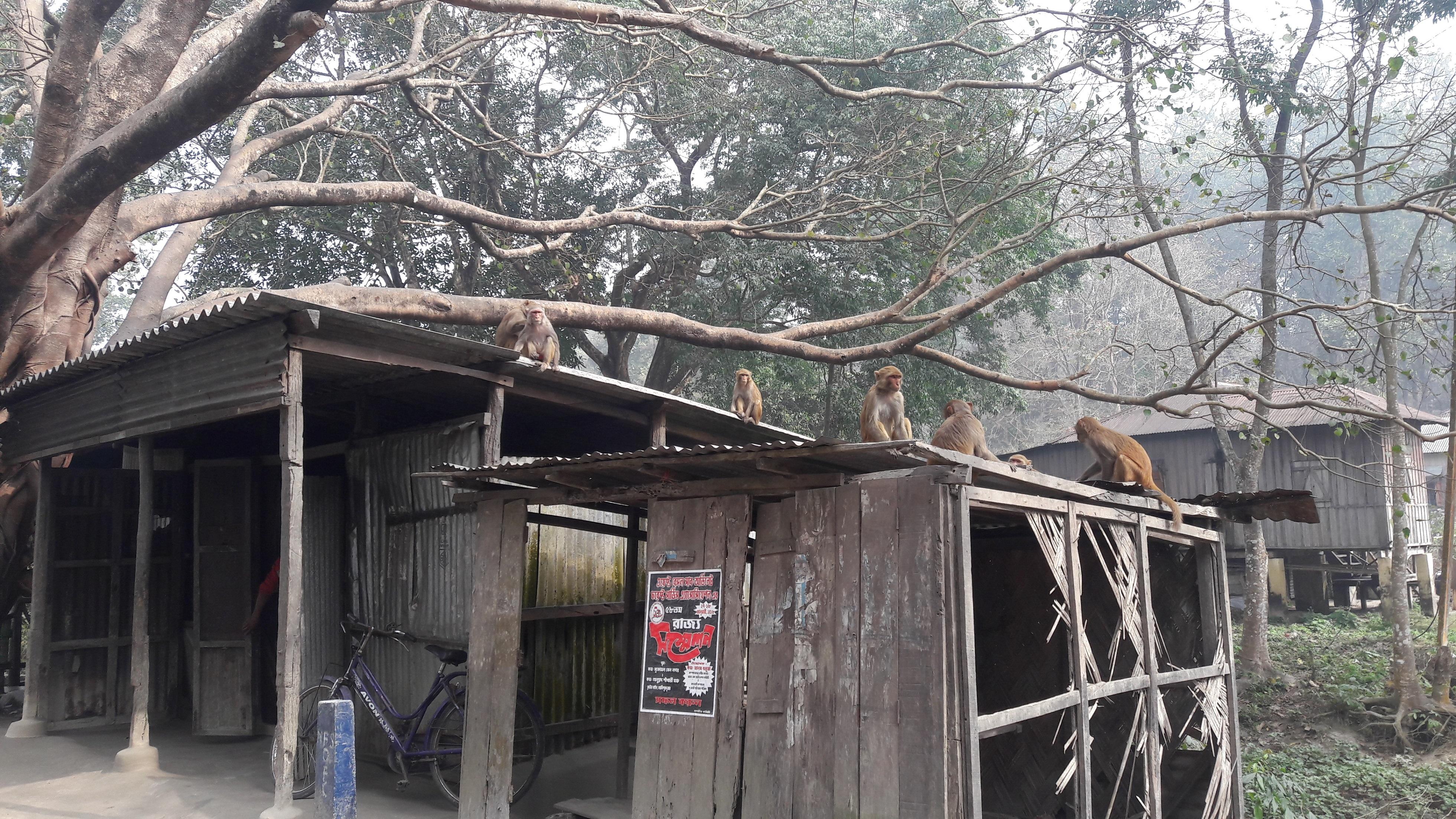 En la misma Reserva del Tigre Buxa, otra tropa de macacos Rhesus que están siendo alimentados por turistas, se aventuran menos en el bosque, comen menos frutas y dispersan menos semillas. Imagen de Asmita Sengupta