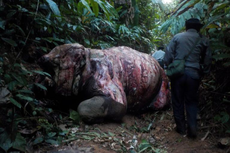 Un elefante asiático hembra desollado en Myanmar. Imagen cortesía de Klaus Reisinger / Compass Films