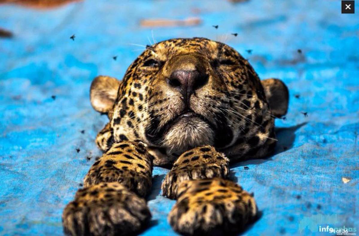 Uno de los casos más alarmantes fue el decomiso de 19 jaguares descuartizados encontrados en un congelador en Curionópolis, Pará en 2016. Foto: Déo Martins/Infopebas