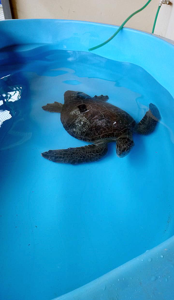 Tortuga en piscina USS