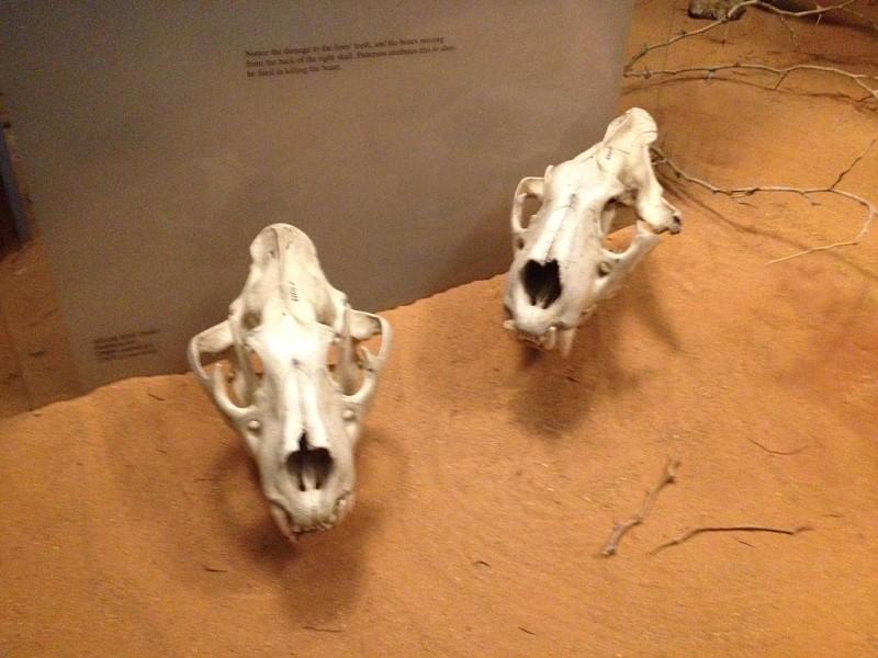 Mandíbulas de los dos leones | Museo Fields