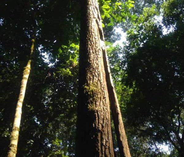 Un árbol forestal en Río Machado. Foto: Cortesía de SEDAM.