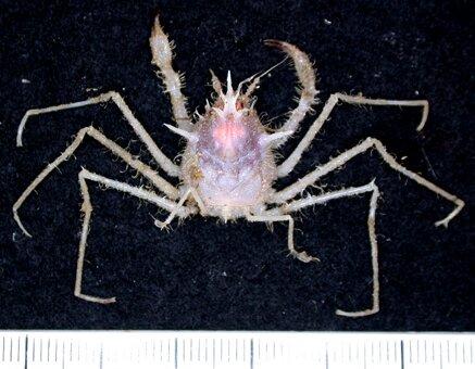 Una nueva especie de cangrejo   CSIRO
