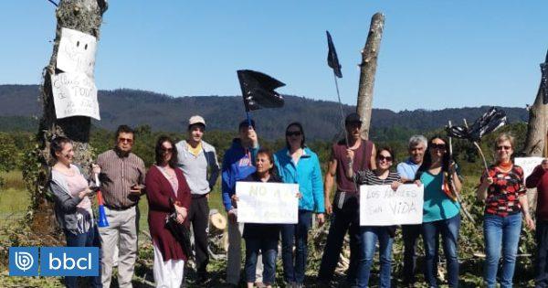 Vecinos que plantaron álamos en Valdivia valoran el fin de la tala por parte del MOP