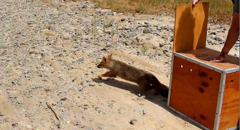 Liberación del zorro chilla | SAG