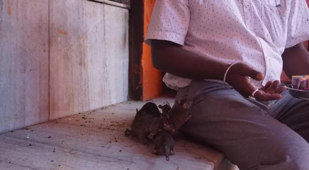 Ratas cerca de un turista | Vice