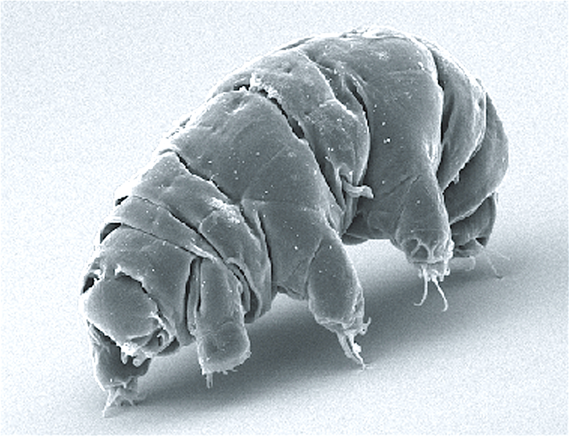 Imagen microscópica de un tardígrado en estado activo (CC) Wikimedia Commons