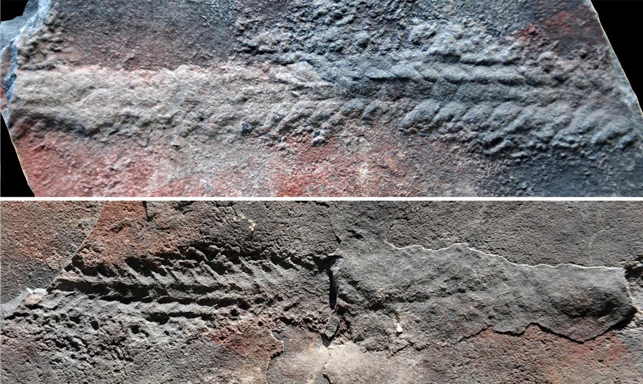 Fósil de gusano Yilingia spiciformis de unos 20 mm de ancho en una roca de 550 millones de años en el área de las Gargantas de Yangtze, sur de China |Agence France-Presse