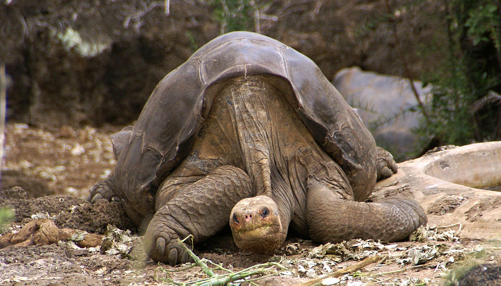 """El """"solitario Gorge"""" falleció en 2012 siendo el último  Chelonoidis abingdonii, una de las especies de las Tortugas de Galápagos."""