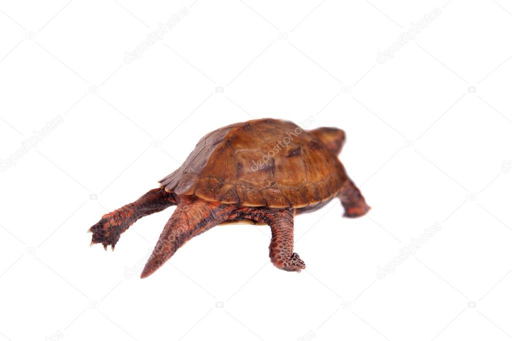 Tortuga Hoja Ryukyu
