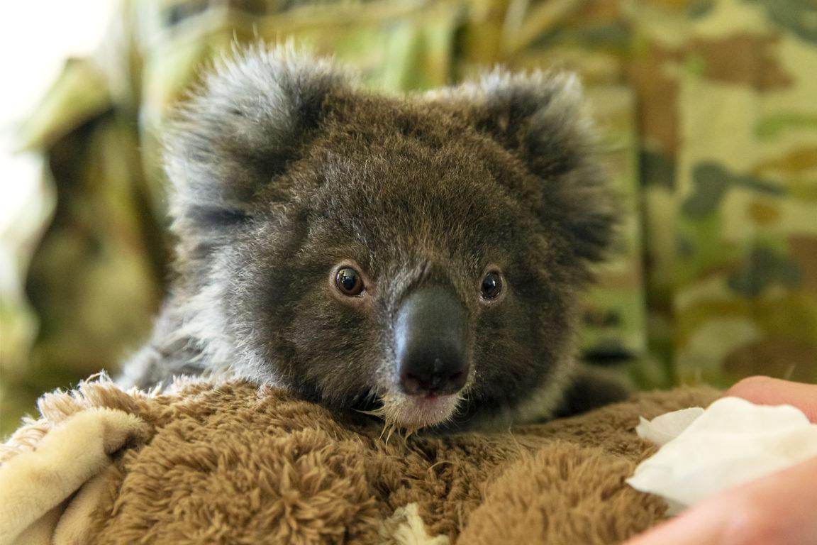 Un pequeño koala rescatado | Agence France-Presse