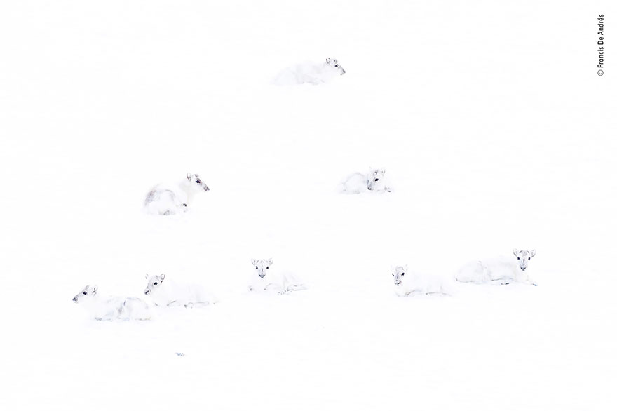 """Francis De Andres, """"Spot The Reindeer"""" 