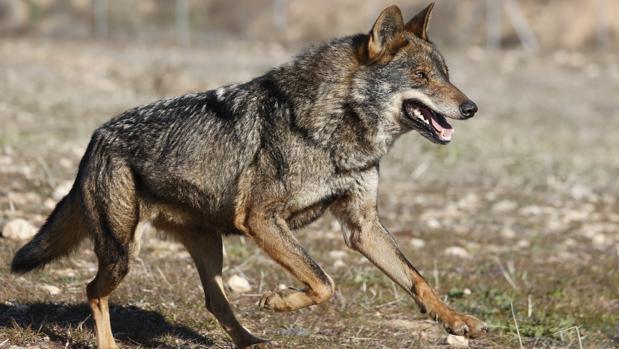 Ejemplar lobo ibérico | Wikimedia Commons