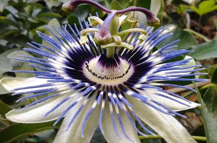 Passiflora Chile