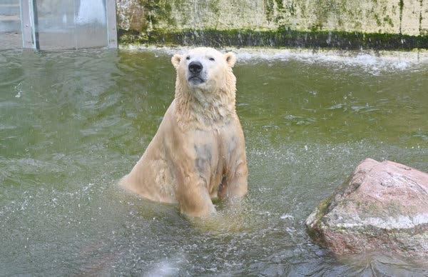 Vitus, el oso polar