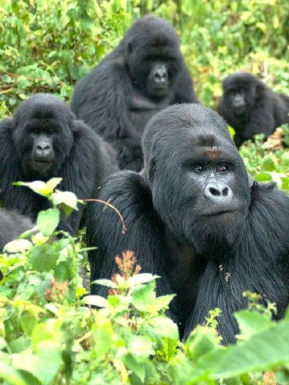 Gorilas de montaña | AFP