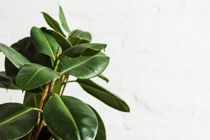 Ficus elastic