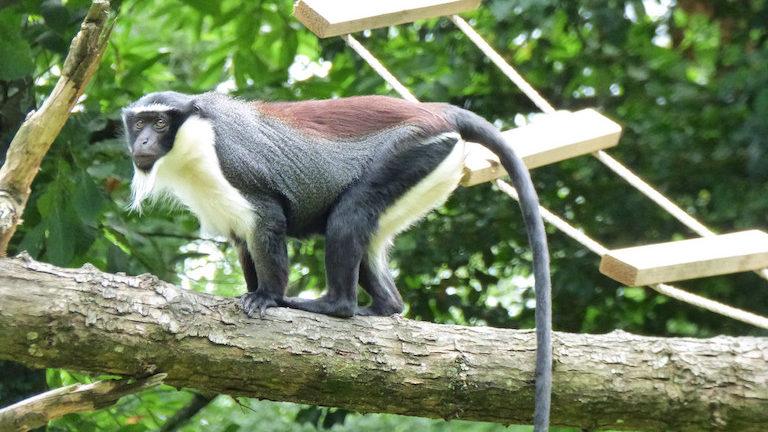 Mono de Roloway