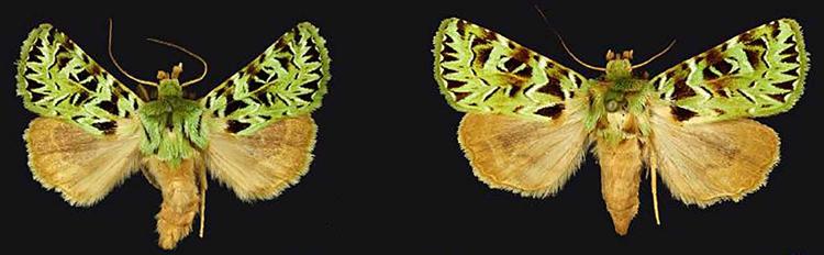 Pachythrix chlorophylla