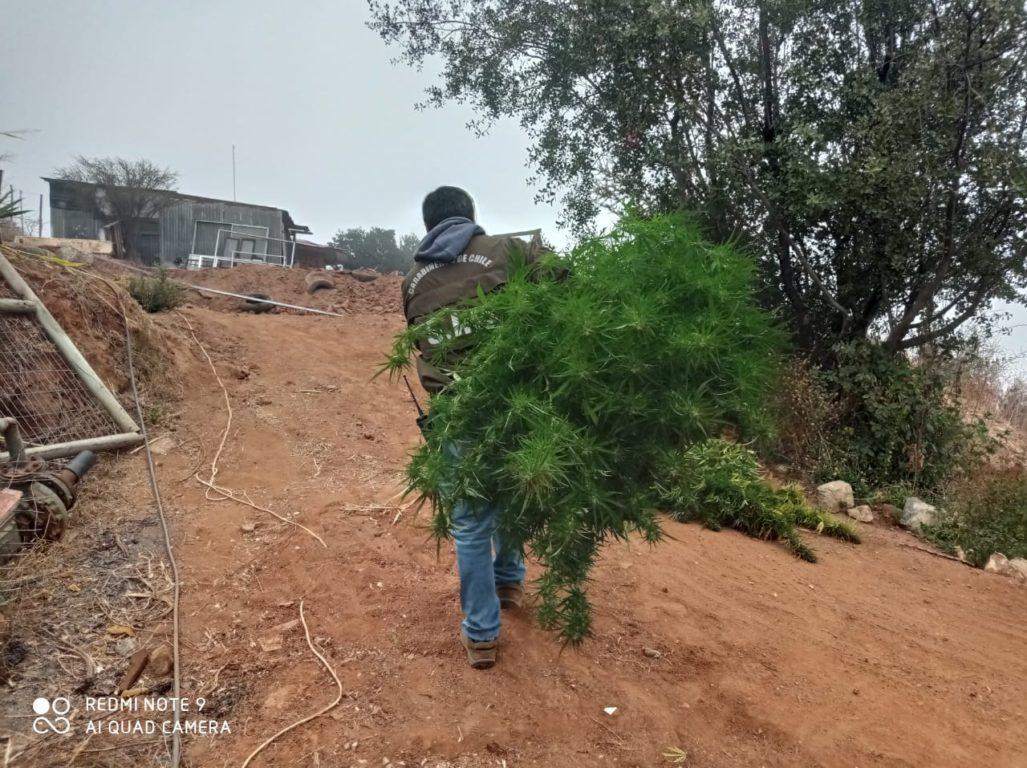 Villa Alemana: carabineros acudió por denuncia de amenazas y terminó decomisando cultivo de drogas