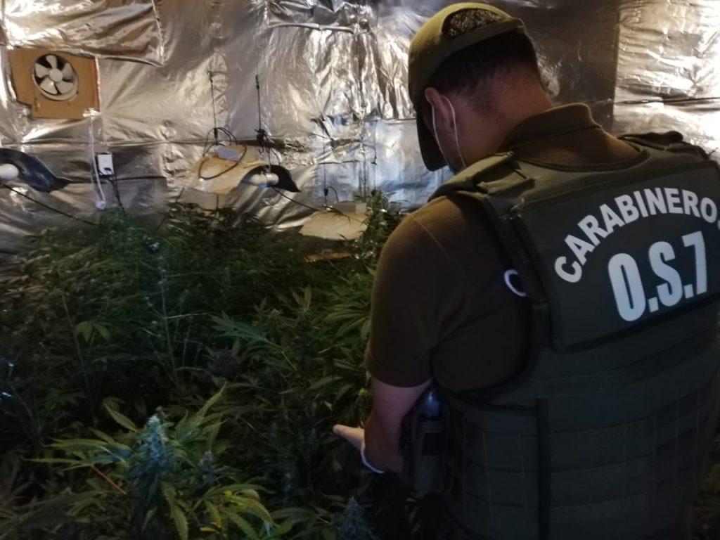 Incautan más de 77 plantas y 3 kilos de droga en La Unión: avalúo fue cercano a los $29 millones