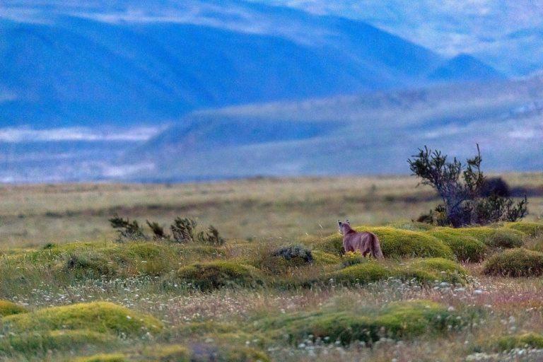 Patagonia chilena: estancia apuesta por la convivencia entre pumas, perros protectores y ganado