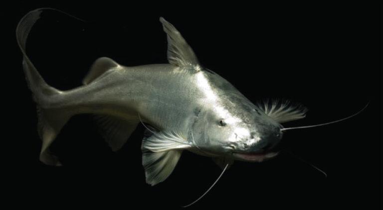 Alerta por el riesgo de desaparición de peces migratorios