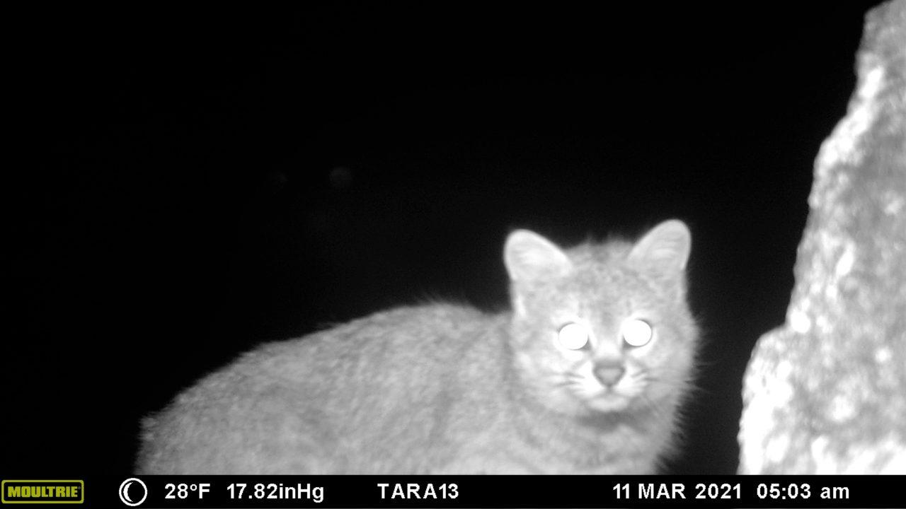 detectan-posible-nueva-especie-gato-colocolo